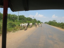 Passing by a herd of cows on the road